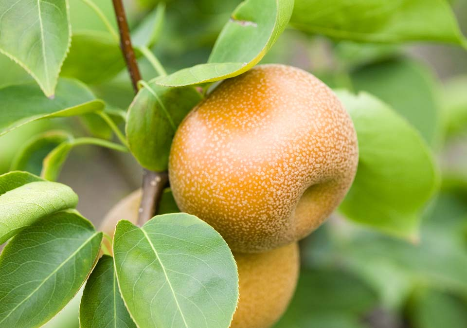 foto,tela,gratis,paisaje,fotografía,idea,Una fruta de un árbol de pera, No disponible, Árbol de pera, , Fruta