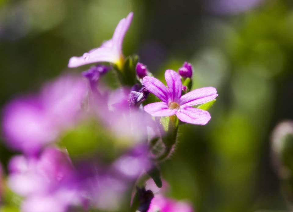 Foto, materieel, vrij, landschap, schilderstuk, bevoorraden foto,Een purpere bloem, Purpere bloem, , ,