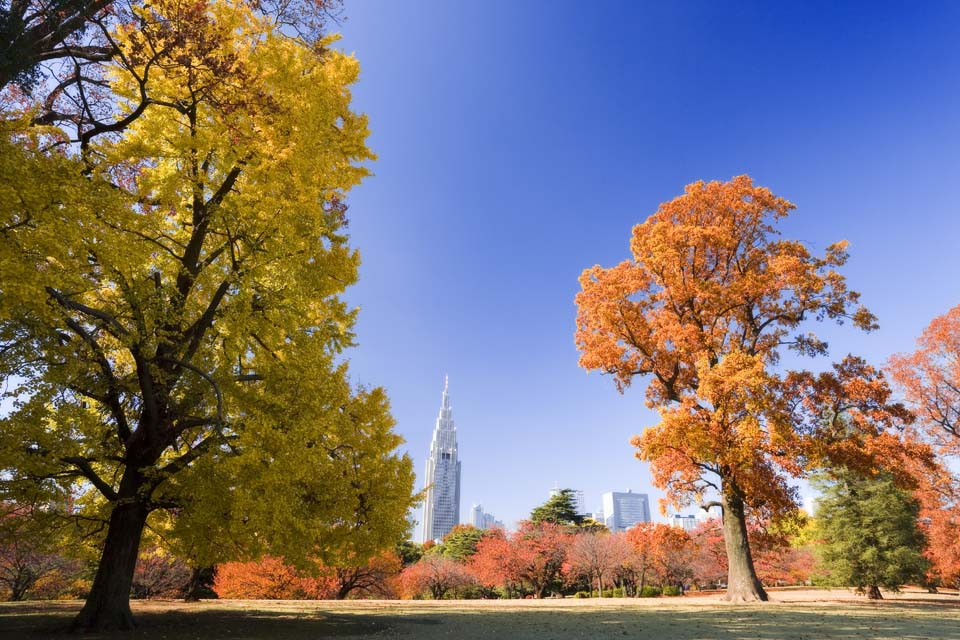 photo,material,free,landscape,picture,stock photo,Creative Commons,Shinjuku Imperial garden of colored leaves, high-rise building, ginkgo, , blue sky