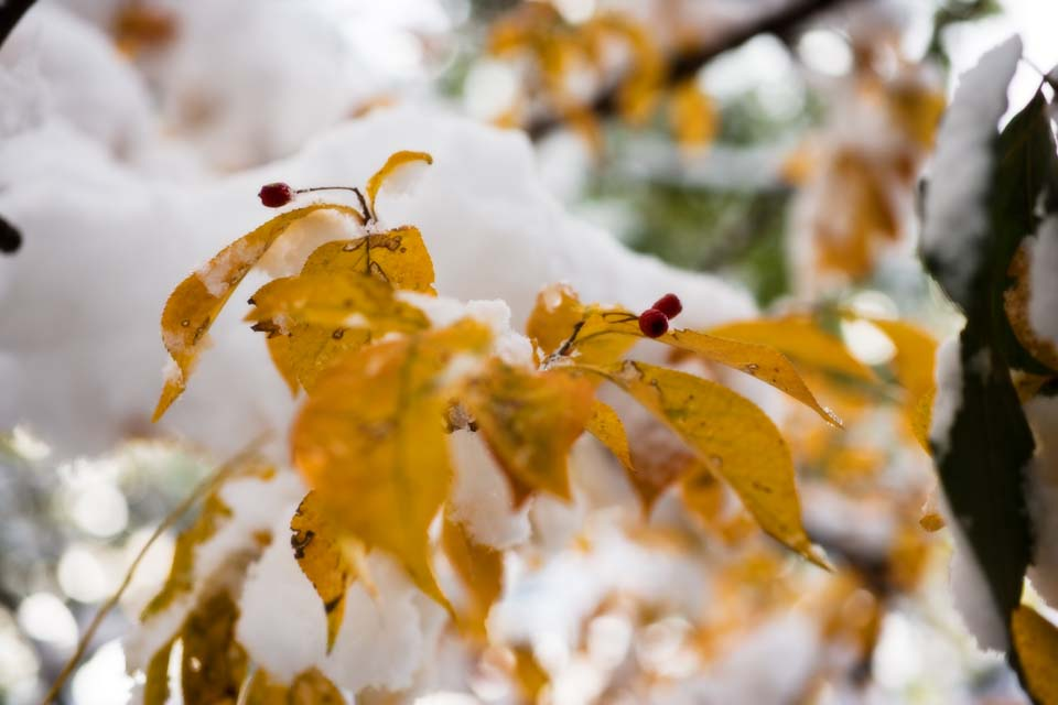 photo,material,free,landscape,picture,stock photo,Creative Commons,Snow and a red fruit, Yellow, Colored leaves, red fruit,