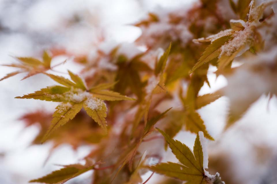 photo,material,free,landscape,picture,stock photo,Creative Commons,Snow and red leaves, It is snowy, Yellow, maple, Maple