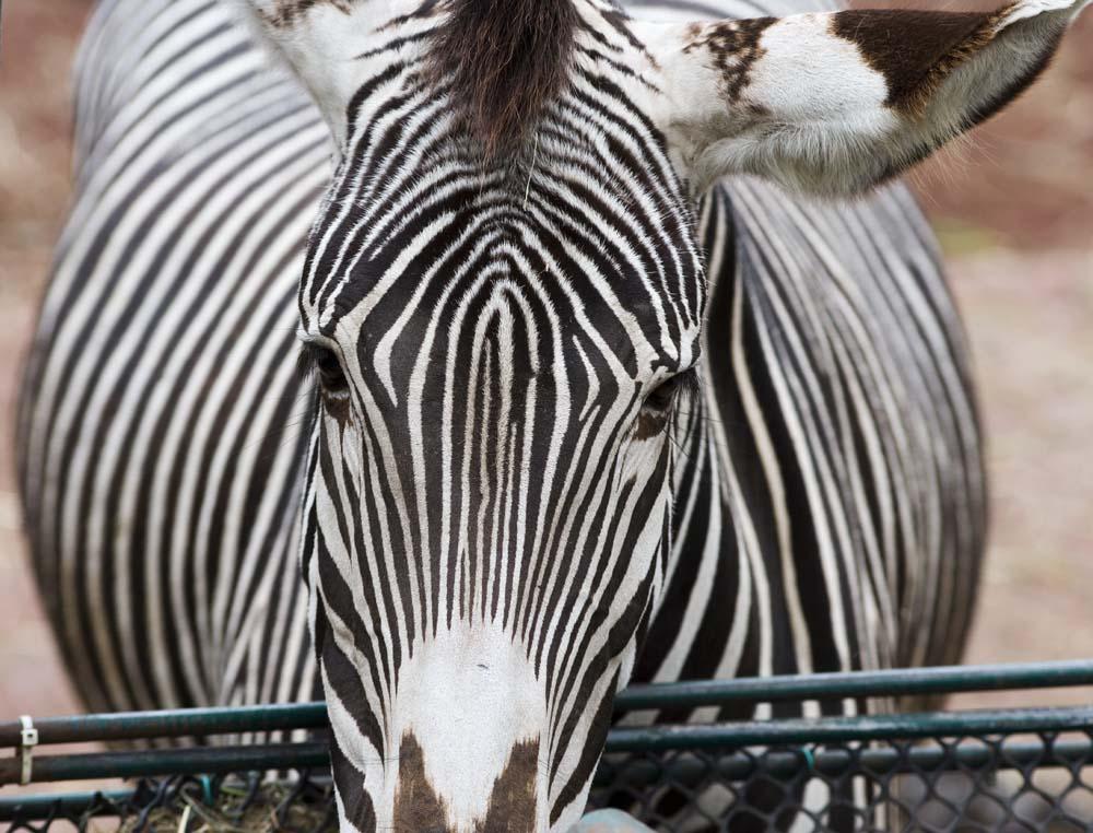 foto,tela,gratis,paisaje,fotograf�a,idea,Una cebra, Un caballo de isla, Cebra, Animal de pasto, La crin
