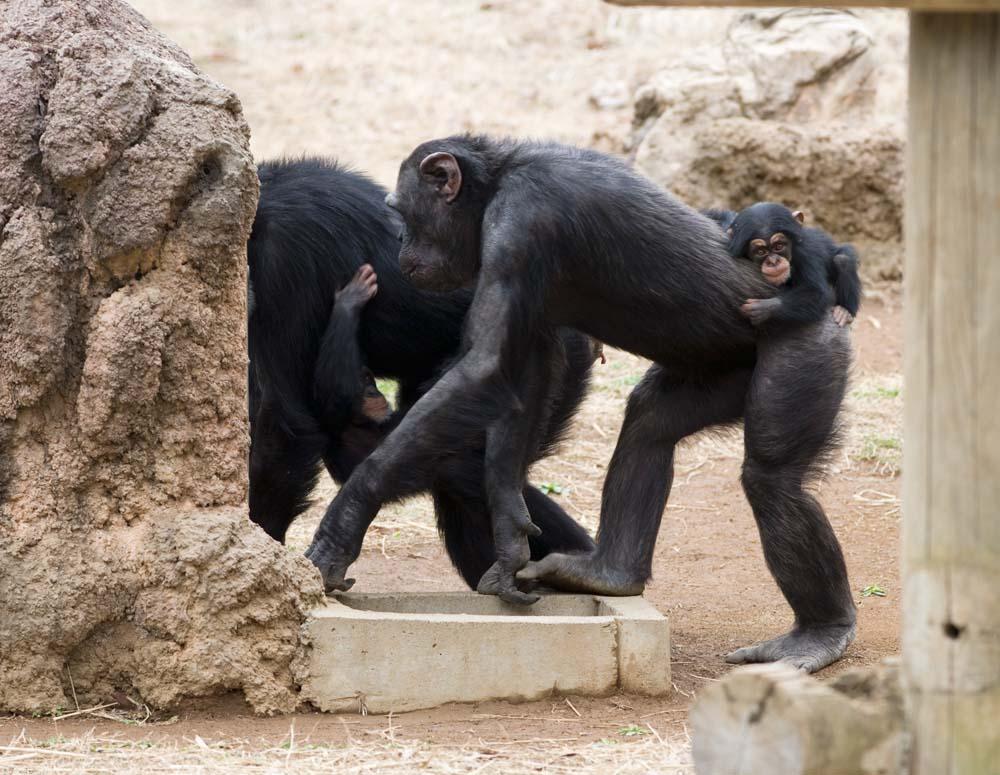 foto,tela,gratis,paisaje,fotograf�a,idea,Padre y ni�o de un chimpanc�, Chimpanc�, Un simio antropoide, Mono, Beb�