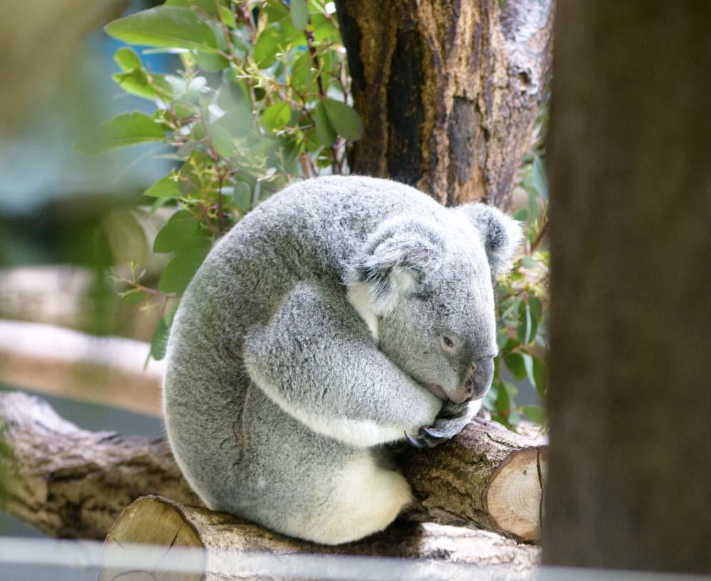 foto,tela,gratis,paisaje,fotograf�a,idea,Un koala, , Koala, ,