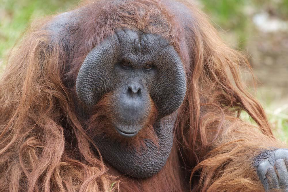 foto,tela,gratis,paisaje,fotograf�a,idea,Un orangut�n, , Un orangut�n, Un simio antropoide, Mono