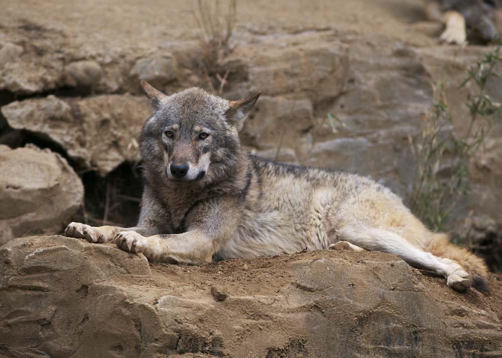 写真,素材,無料,フリー,フォト,クリエイティブ・コモンズ,風景,壁紙,オオカミ, おおかみ, オオカミ, 狼, 野獣