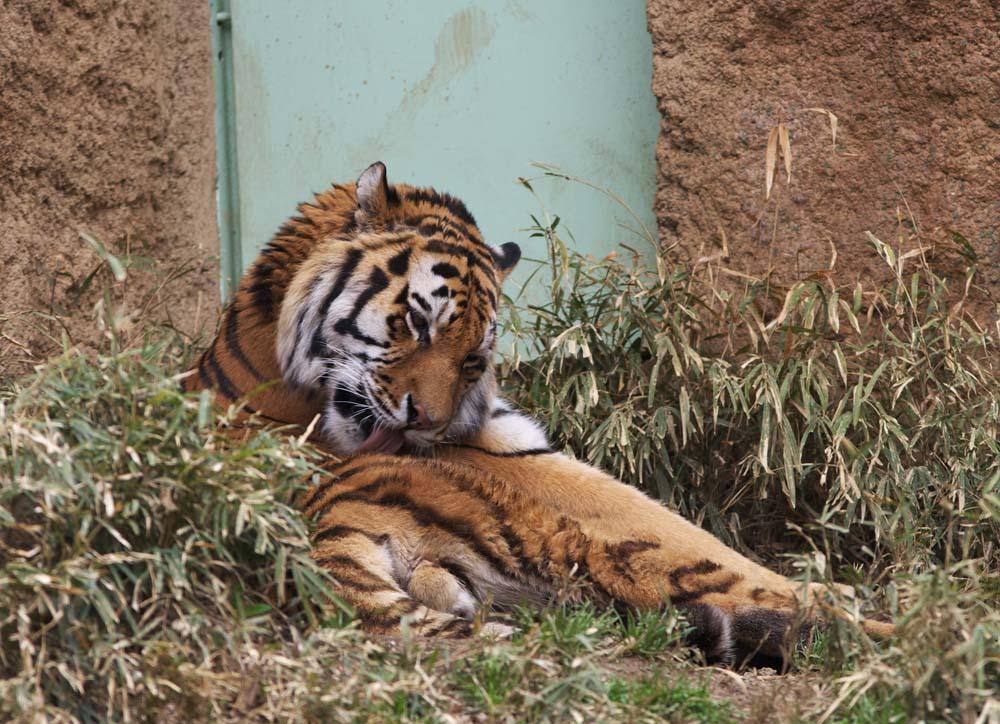 foto,tela,gratis,paisaje,fotografía,idea,Un tigre, Tigre, , ,
