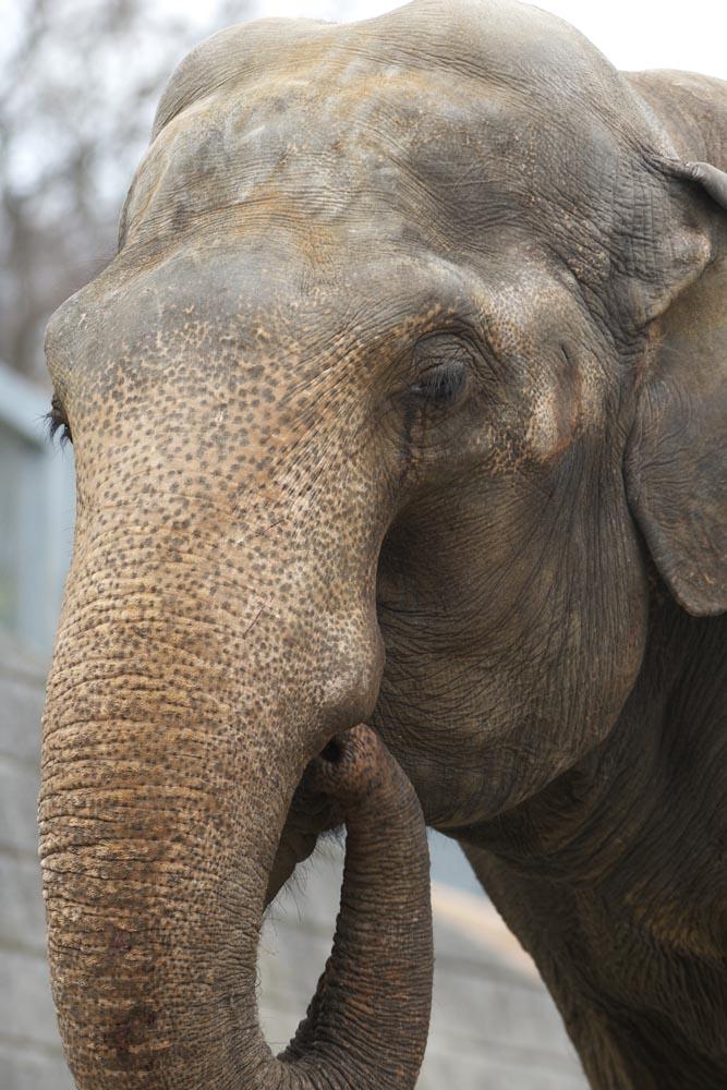 foto,tela,gratis,paisaje,fotograf�a,idea,Un elefante, Un elefante, , , Nariz
