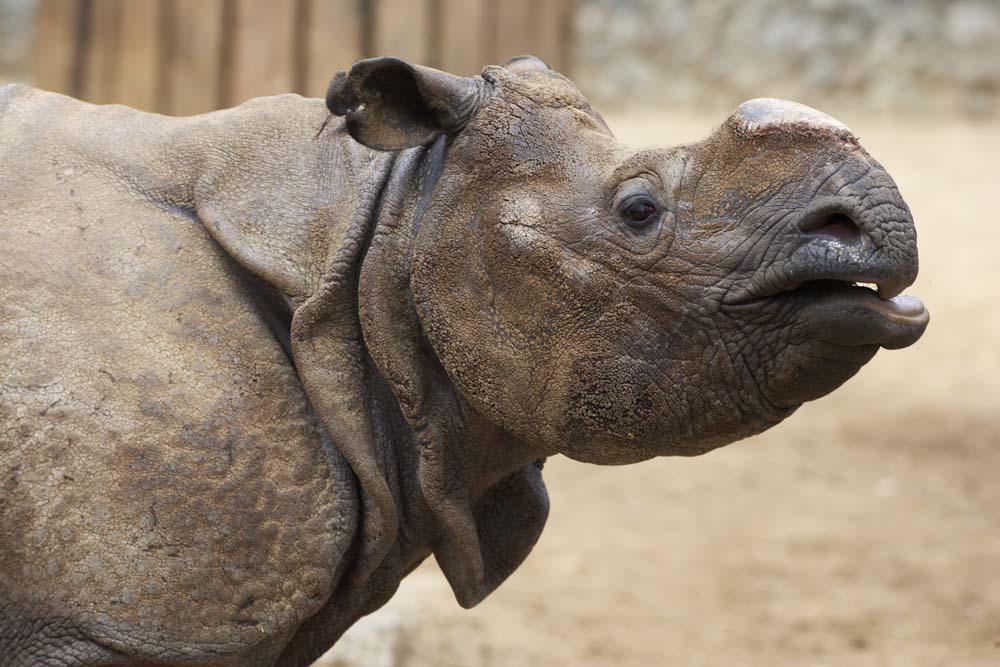 foto,tela,gratis,paisaje,fotograf�a,idea,Un rinoceronte, Rinoceronte, , ,