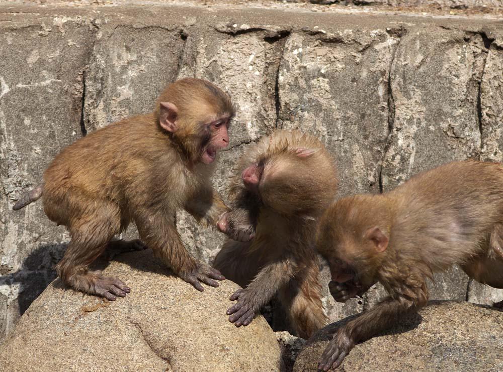 foto,tela,gratis,paisaje,fotograf�a,idea,De gatito de monos joven, Mono, Mono japon�s, ,