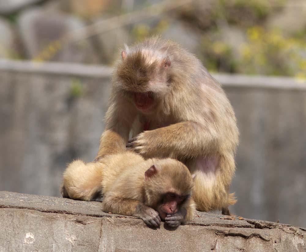 写真,素材,無料,フリー,フォト,クリエイティブ・コモンズ,風景,壁紙,猿の毛づくろい, 猿, ニホンザル, 日本猿, にほんざる