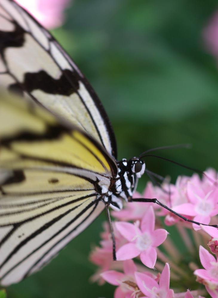 写真,素材,無料,フリー,フォト,クリエイティブ・コモンズ,風景,壁紙,オオゴマダラ, チョウ, ちょうちょ, 蝶, 花