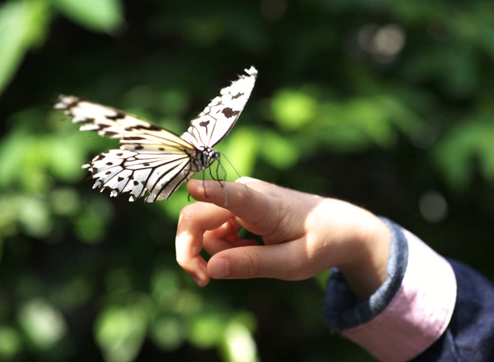 Foto, materieel, vrij, landschap, schilderstuk, bevoorraden foto,Een meisje en een vlinder, Vlinder, , , Bloem