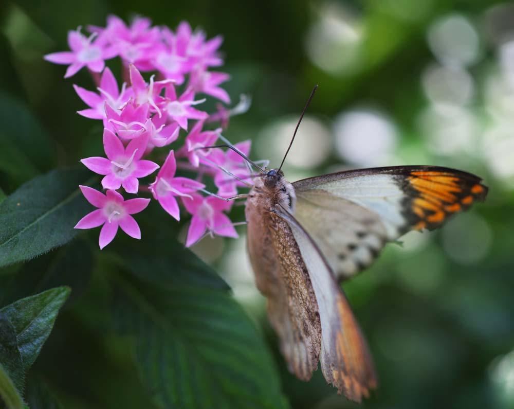 foto,tela,gratis,paisaje,fotograf�a,idea,Una comida de una mariposa, Mariposa, , , Flor