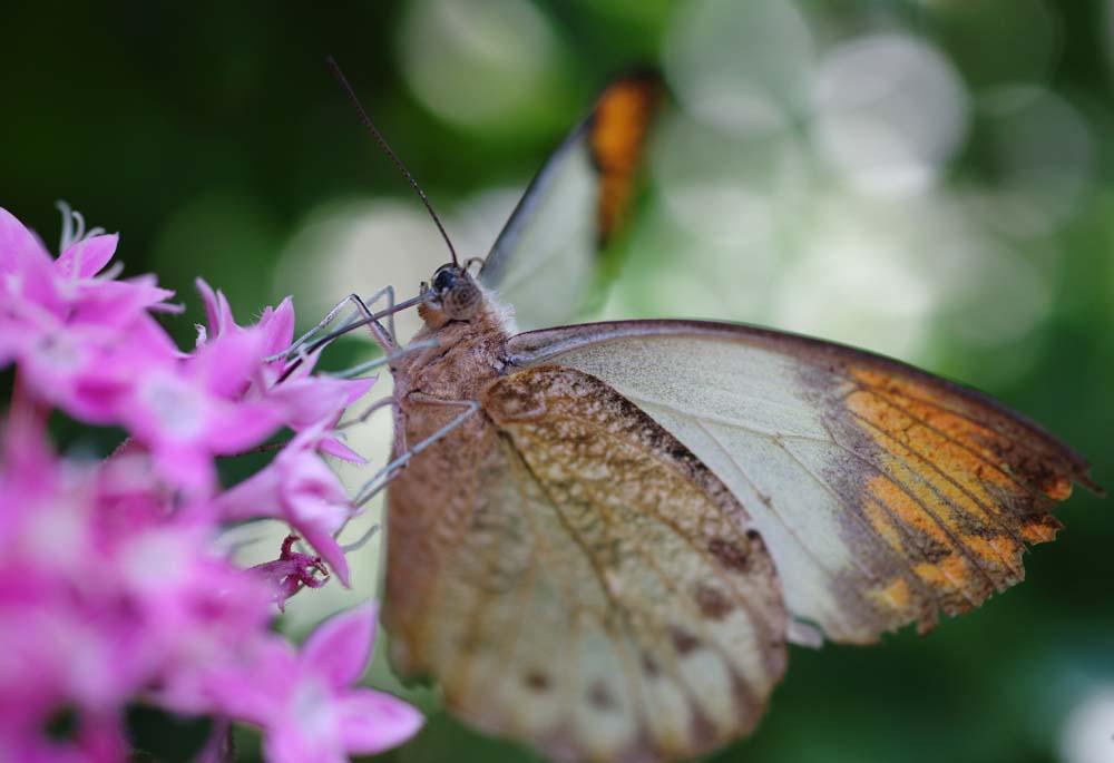 foto,tela,gratis,paisaje,fotograf�a,idea,Una comida de una mariposa, Mariposa, Mariposa, Mariposa, Flor