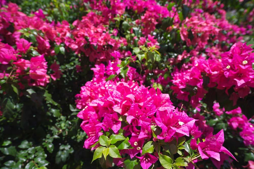 Yun gratis fotos no 3493 una buganvilla usa guam - La buganvilla ...