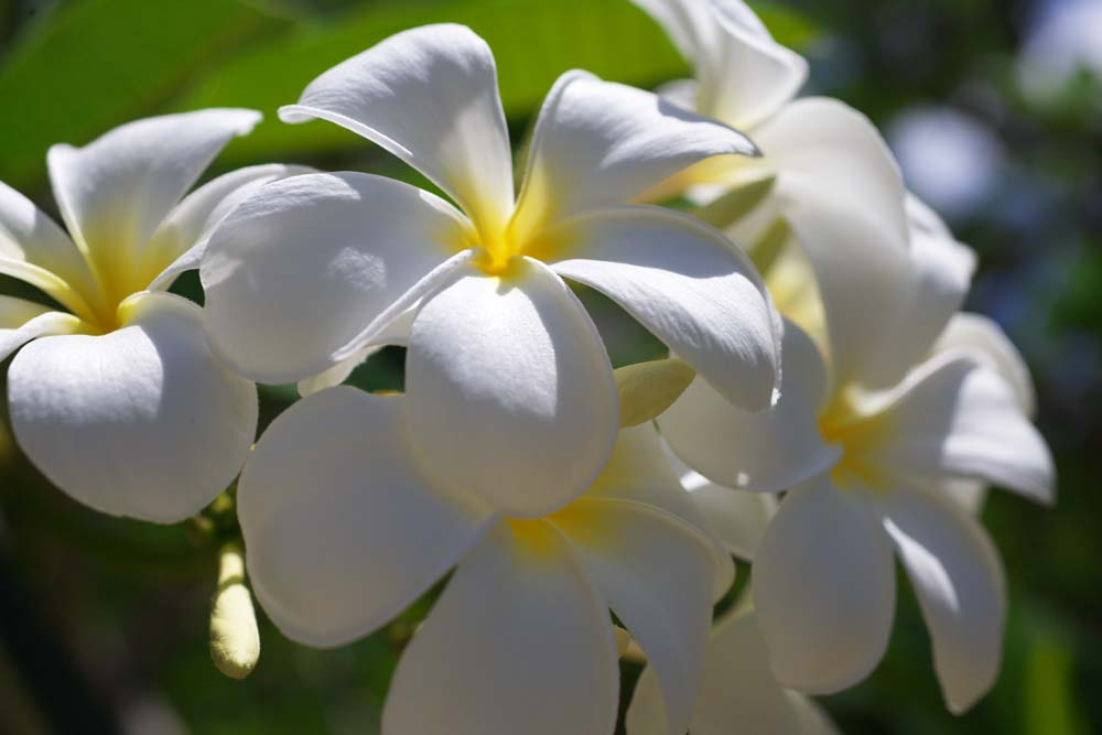 photo,material,free,landscape,picture,stock photo,Creative Commons,Brightness of a frangipani, frangipani, bouquet, Yellow, southern country