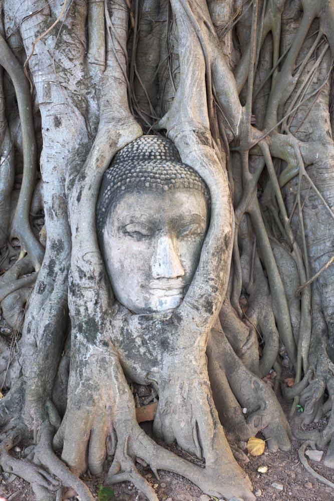 fotografia, material, livra, ajardine, imagine, proveja fotografia,Um c�rebro de Wat Phra Mahathat de Buda, A heran�a cultural de mundo, Budismo, c�rebro de Buda, Ayutthaya permanece