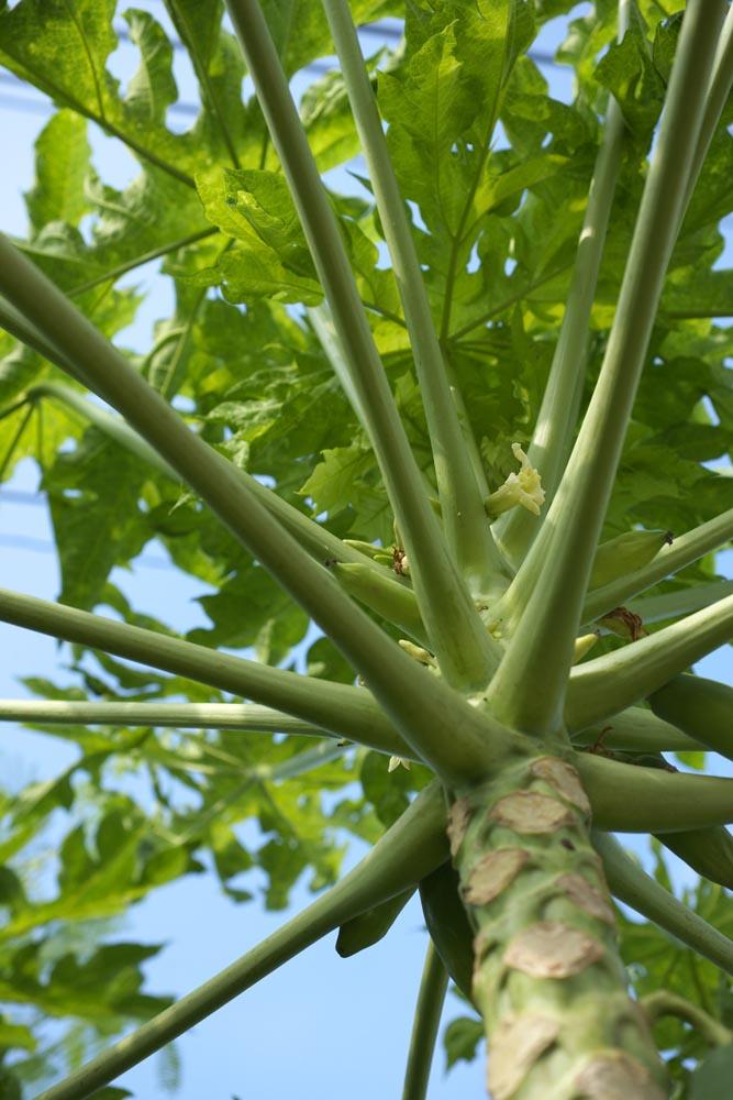 Foto, materieel, vrij, landschap, schilderstuk, bevoorraden foto,Een bloem van een papaja, Bloem, Papaja, Tropisch, Tropische plant