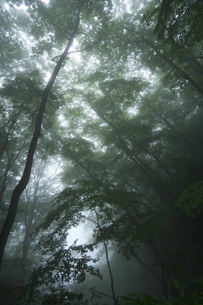 foto,tela,gratis,paisaje,fotografía,idea,Silencio del bosque donde la niebla cae, Árbol, Brumoso, Niebla, Barrena
