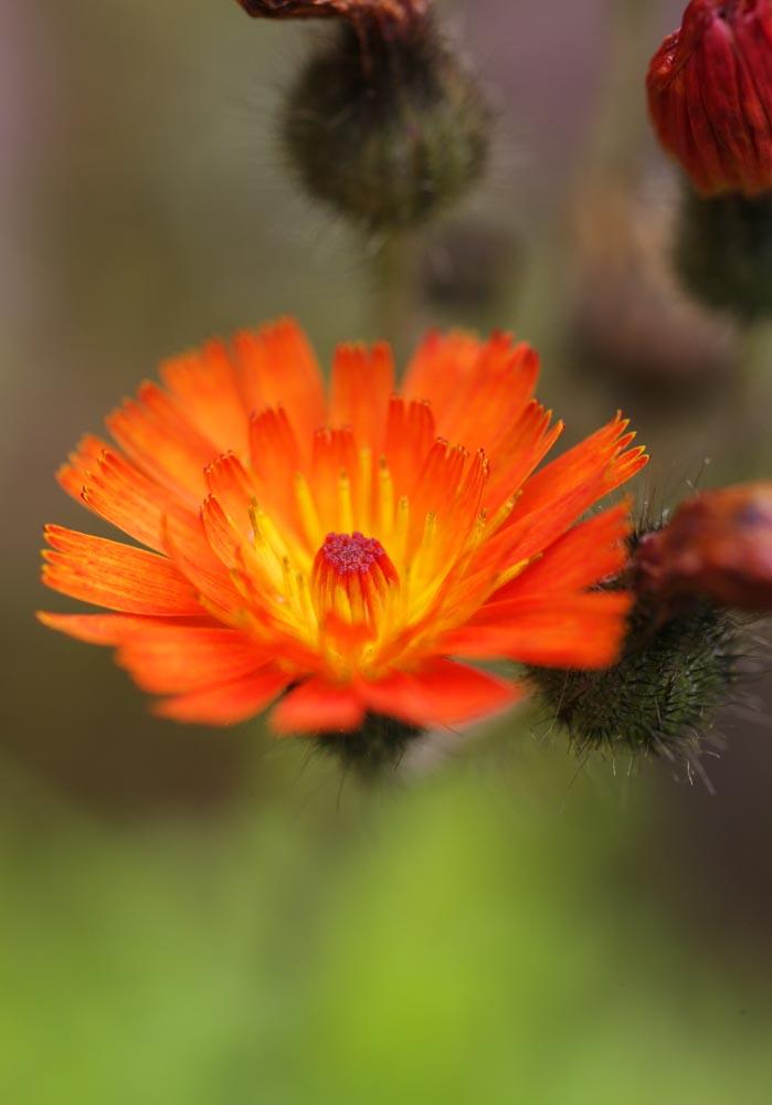 photo,material,free,landscape,picture,stock photo,Creative Commons,An orange flower, An orange, petal, ,
