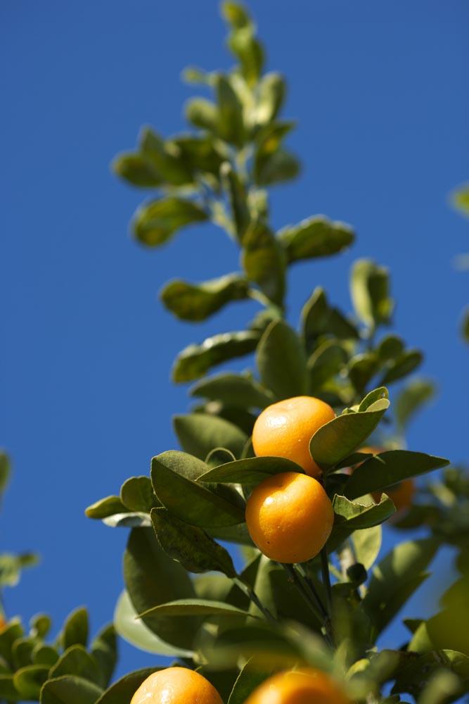 photo,material,free,landscape,picture,stock photo,Creative Commons,A kumquat, kumquat, , Citrus fruit, orange