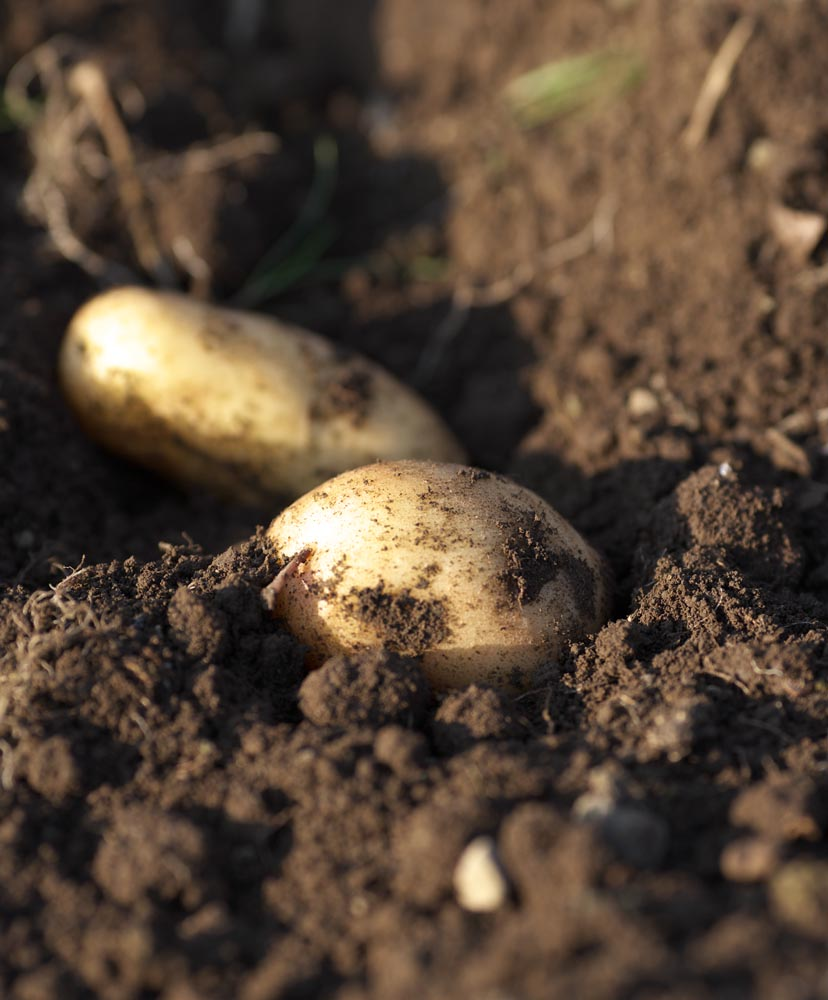 photo,material,free,landscape,picture,stock photo,Creative Commons,The potato which was dug, potato, , ,