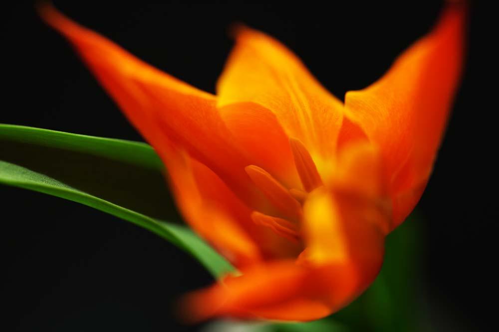 photo, la mati�re, libre, am�nage, d�crivez, photo de la r�serve,Vermillon de la chaleur, , tulipe, p�tale, Dans le printemps