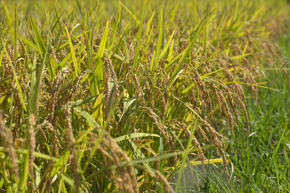photo,material,free,landscape,picture,stock photo,Creative Commons,An ear of rice grows, Rice, , ,