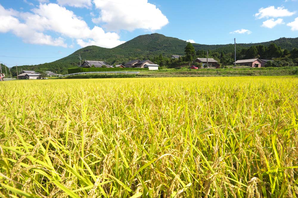 fotografia, material, livra, ajardine, imagine, proveja fotografia,Uma orelha de arroz cresce, Arroz, , ,