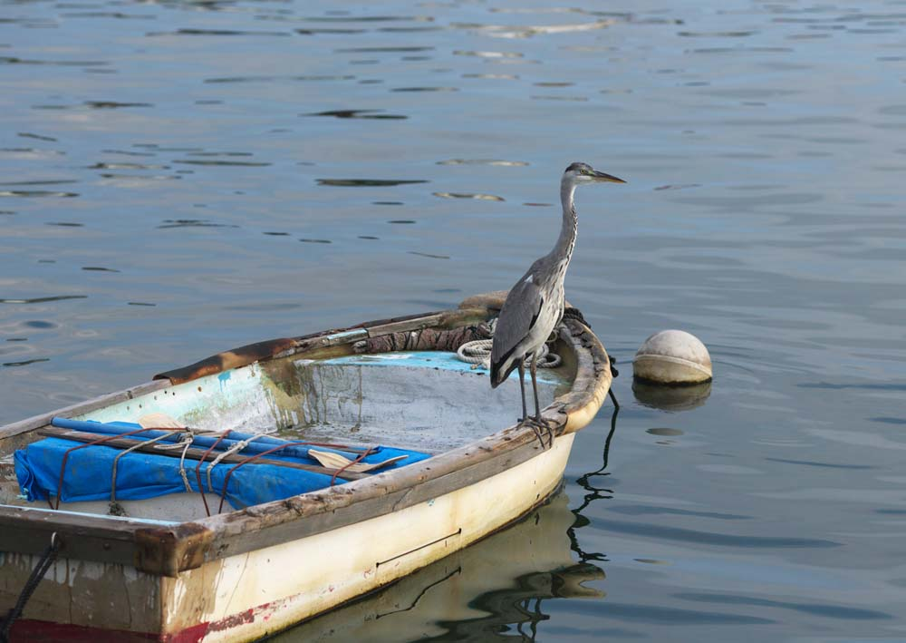photo,material,free,landscape,picture,stock photo,Creative Commons,A heron, Oh, it is a heron, heron, heron, boat