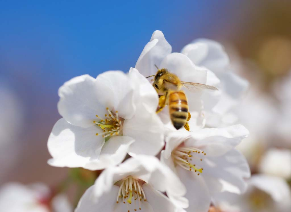 photo,material,free,landscape,picture,stock photo,Creative Commons,Spring bee, Sakura, , Cherry, Bees