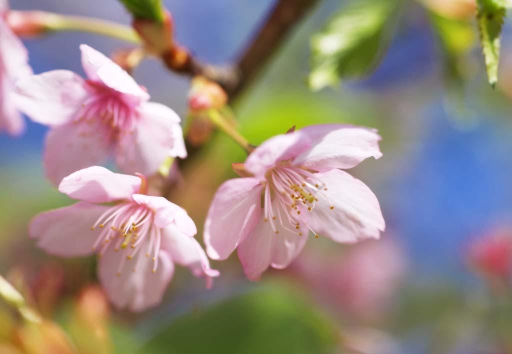 foto,tela,gratis,paisaje,fotograf�a,idea,Cherry Pink, Sakura, Sakura, Cereza, Sakura