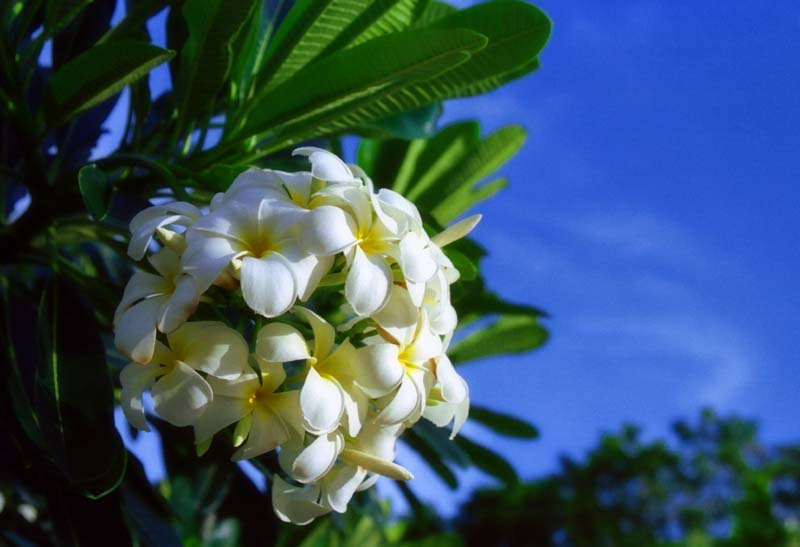 photo,material,free,landscape,picture,stock photo,Creative Commons,Tropical flowers, white, blue sky, ,
