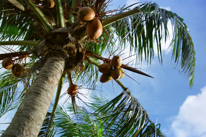 photo,material,free,landscape,picture,stock photo,Creative Commons,Palm tree, fruit, blue sky, ,