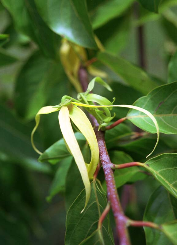 photo,material,free,landscape,picture,stock photo,Creative Commons,Ylang-ylang, yellow, branch, ,