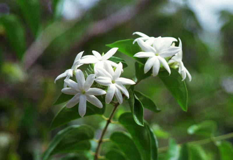 photo, la matière, libre, aménage, décrivez, photo de la réserve,Jolies blanches fleurs, blanc, vert, ,