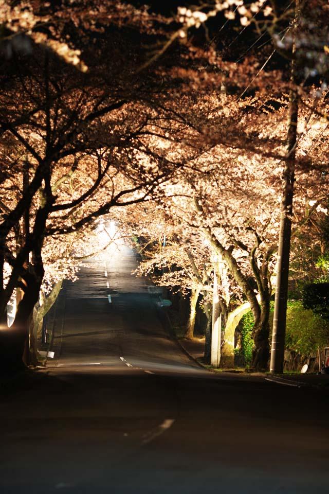 Фото, материальный, свободный, пейзаж, фотография, фото фонда.,Едущий в смотрят cherry цветение ночью туннель, cherry дерево, cherry дерево, cherry дерево, roadside дерево