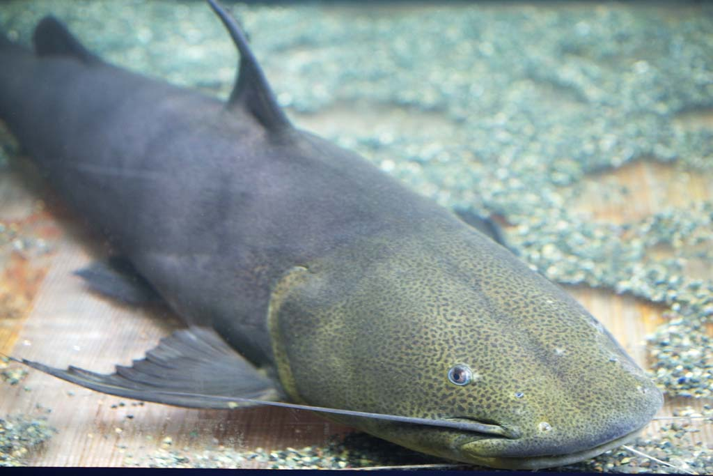 photo, la matière, libre, aménage, décrivez, photo de la réserve,Un poisson en Amazone, poisson-chat, La jungle, poisson d'eau douce,