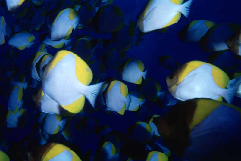 Foto, materieel, vrij, landschap, schilderstuk, bevoorraden foto,Tussen de vis, Vis, Blauw, ,