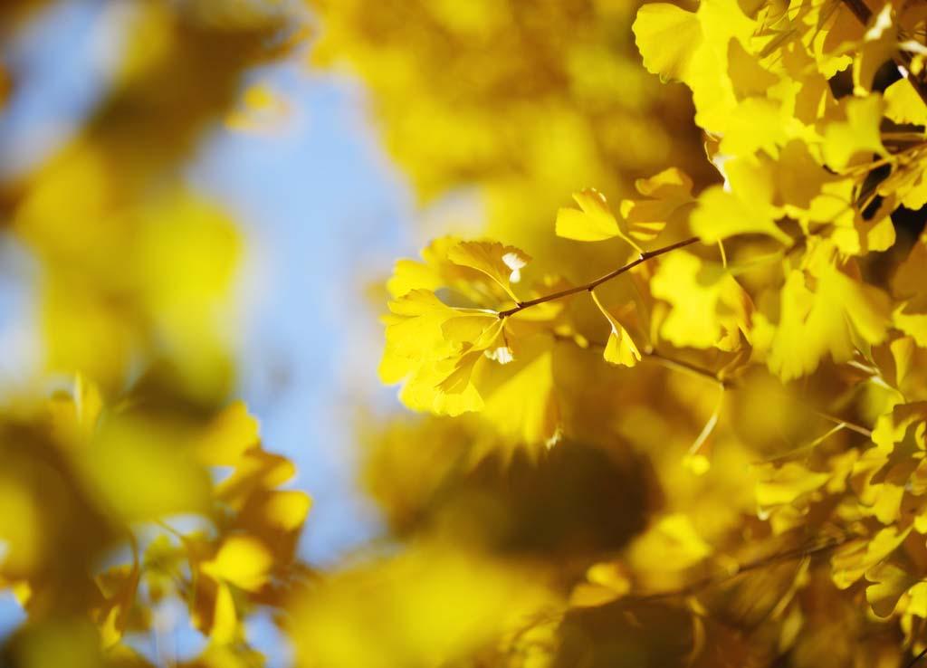 Фото, материальный, свободный, пейзаж, фотография, фото фонда.,Желтый сияющего ginkgo, ginkgo, , Желтый, roadside дерево