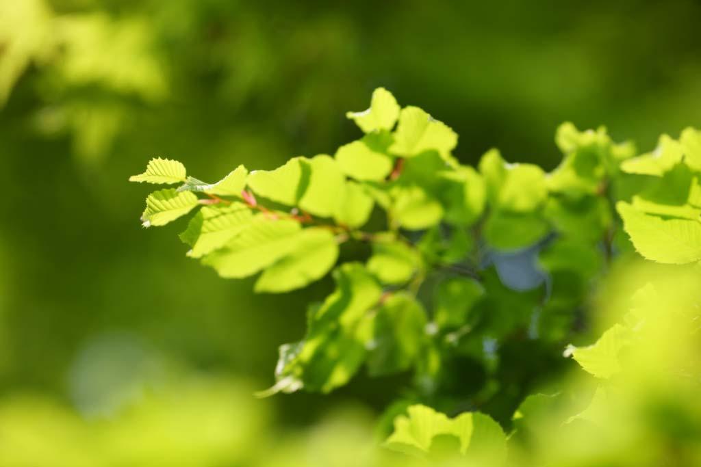 Foto, materieel, vrij, landschap, schilderstuk, bevoorraden foto,Verdure, Hét vers groen, Groen, Nakomeling vrijaf, Knop