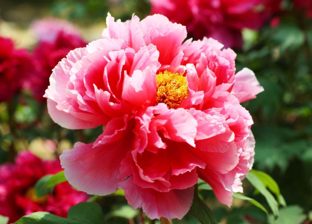 Foto, materieel, vrij, landschap, schilderstuk, bevoorraden foto,De pioen van Hase-dera Tempel, Pioen, Knop, , Mitera van de bloem