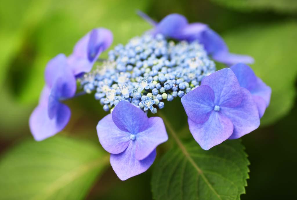 photo, la matière, libre, aménage, décrivez, photo de la réserve,Macrophylla de l'hortensia, hortensia, , , La saison pluvieuse