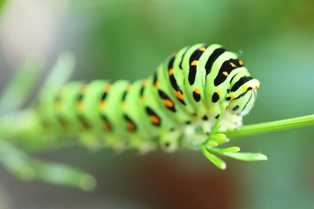 写真,素材,無料,フリー,フォト,クリエイティブ・コモンズ,風景,壁紙,キアゲハの幼虫, チョウ, 蝶, 芋虫, いもむし