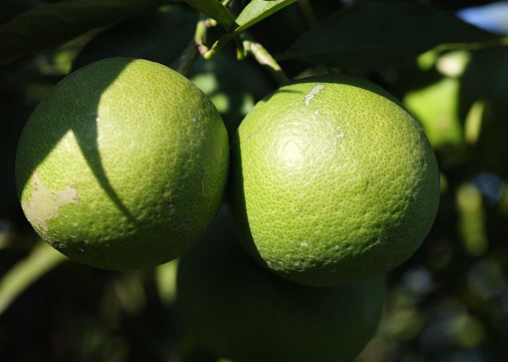 fotografia, material, livra, ajardine, imagine, proveja fotografia,Um mandarina azul, Fruta, Fruta, mandarina, Sistema de fruta c�trica