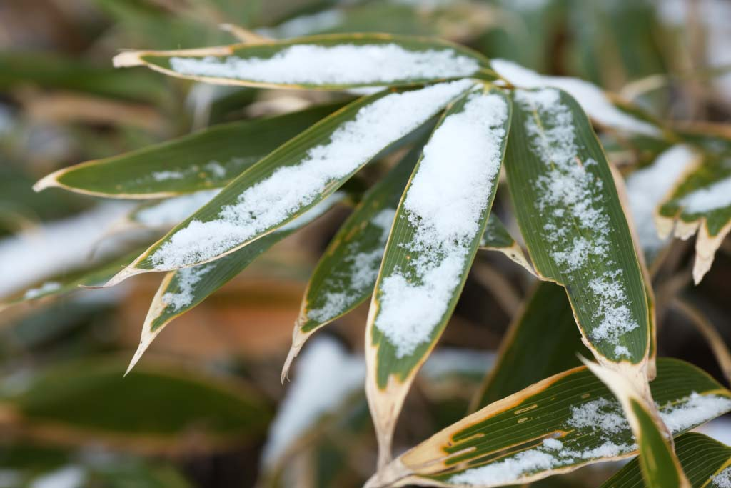 photo,material,free,landscape,picture,stock photo,Creative Commons,It is snowy to bamboo grass, bamboo grass, The snow, snowy crystal, forest