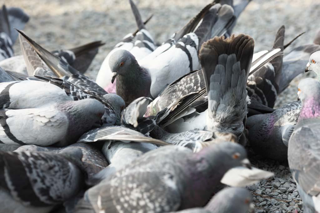 foto,tela,gratis,paisaje,fotografía,idea,Una multitud de palomas nacionales, Paloma, , , Ala