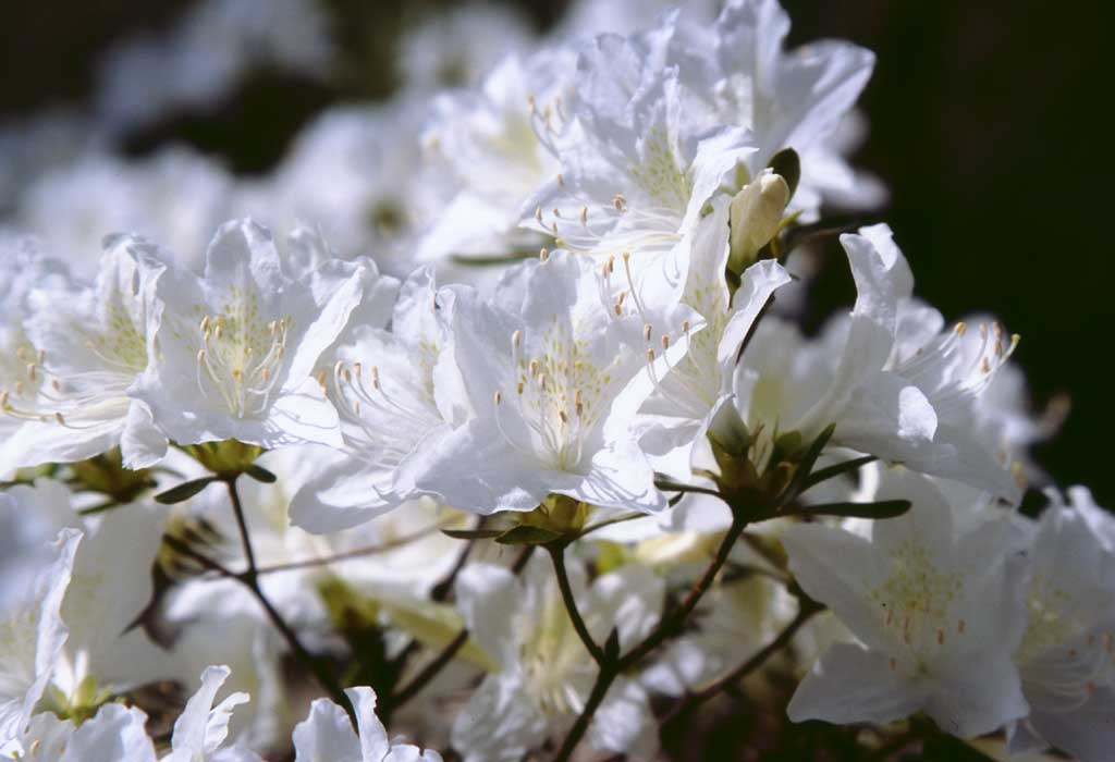photo,material,free,landscape,picture,stock photo,Creative Commons,White azalea flowers, azalea, white, ,