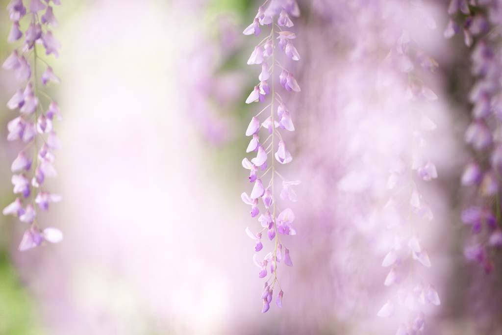 fotografia, materiale, libero il panorama, dipinga, fotografia di scorta,Il graticcio di wisteria di Byodo-in Tempio, Imporpori, , Glicine giapponese,